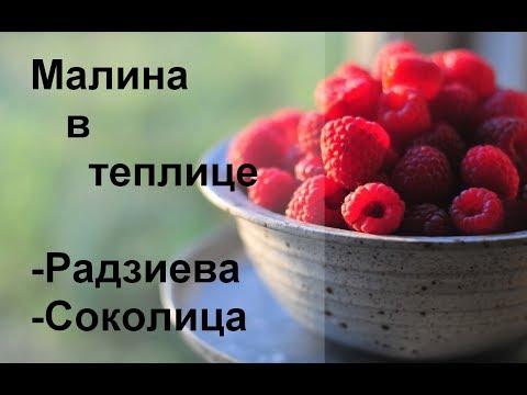 Как выращивать малину? Первый урожай малины в теплице (ч.1)