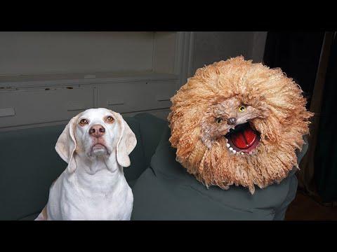 Dog Adopts Crazy Dog Named Bruce: Funny Dogs Maymo, Penny & Potpie Rescue Crazy Dog
