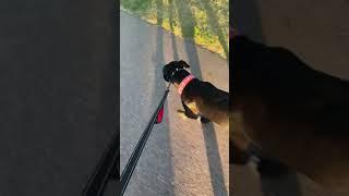 Roxie walking