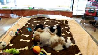 Female Havanese Puppy And Female Shih-tzu Puppy Playing