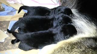 Новорожденные щенки восточноевропейской овчарки