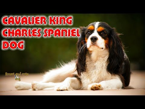 Cavalier King Charles Spaniel dog plays with a toy, performs tricks and sings. Compilation