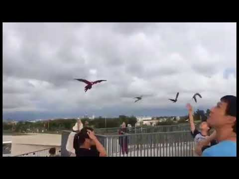 Macaws Free FlyIng   video