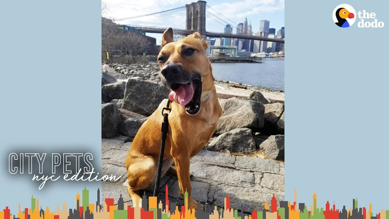 3 Legged Dog Makes This Brooklyn Couple's Family Complete | The Dodo City Pets