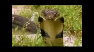 The biggest Indian King Cobra from kerala