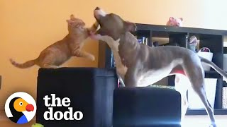 Pittie Got Sad Her Brother Is Leaving for Preschool Then She Met a Kitten | The Dodo Odd Couples