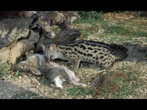 Misk kedisi avlanma sanatı ► Amazing Genet Civet Cat attacks 2017