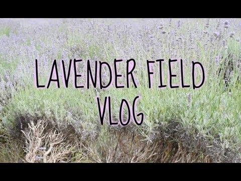 Lavender Field Vlog