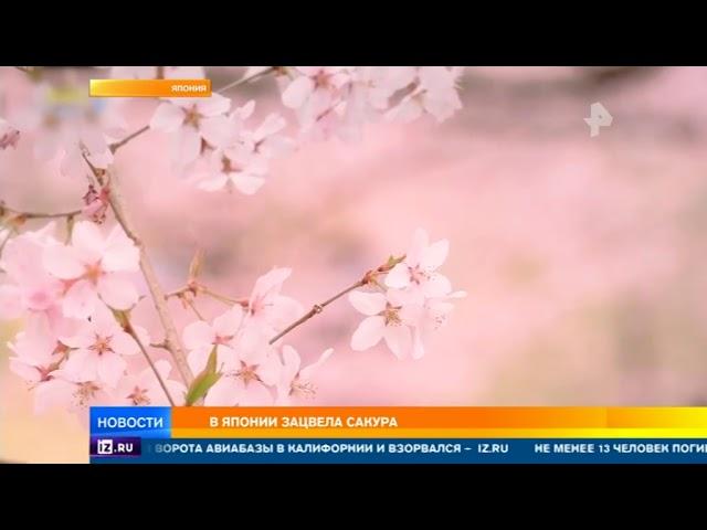 Сакура зацвела в Японии