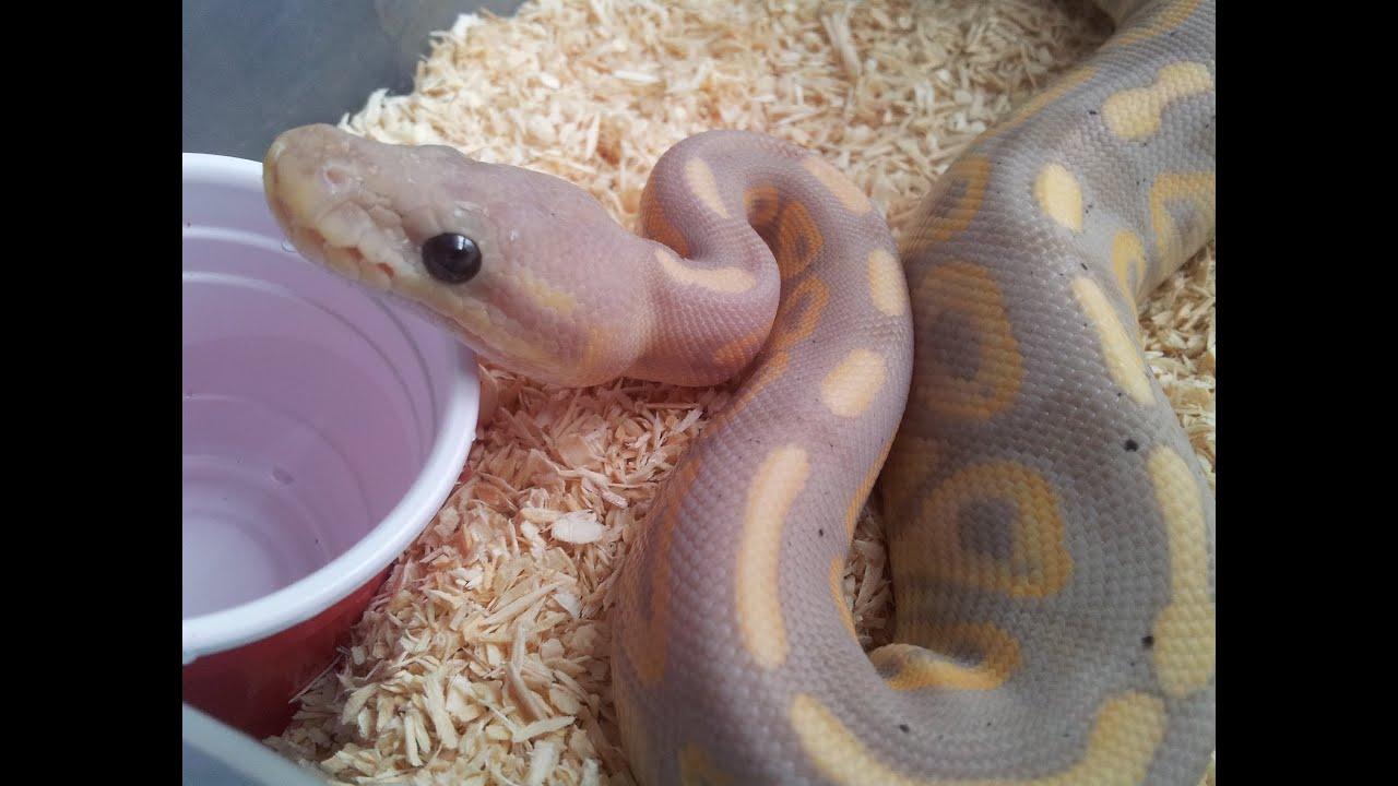 Black Pastel Banana Ball Python Drinking Water Youtube