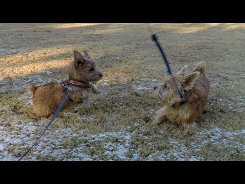 Norfolk Terriers Catch Me If You Can
