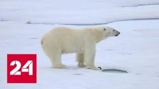 Редкий случай: белый медведь в Норильске - Россия 24