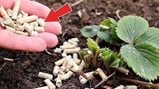 Это средство за 100р увеличит урожай клубники на всем огороде в 2 раза!