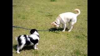 2011年4月11日生まれ ♂パピヨン犬(トライ)垂れ耳のファーレン家系です...