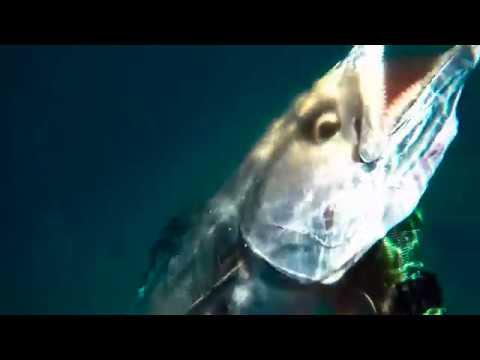 Spearfishing Far North Queensland || Local Exotics