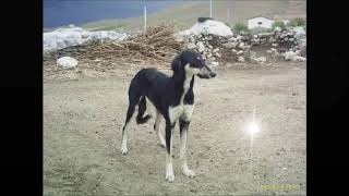 Anadolunun en iyi 5 köpeği