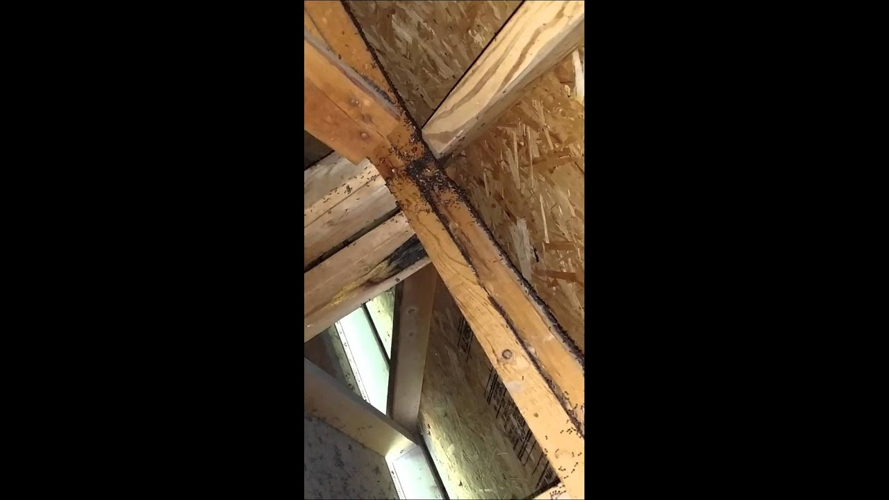 Acrobat Ants in Attic : carpenter ants in attic  - Aeropaca.Org