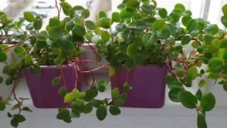 Пеперомия. Комнатные растения.Уход, размножение и содержание в домашних условиях.Peperomia.