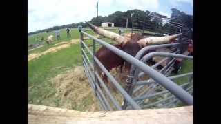 Watusi Bull Jumps Out of Corral