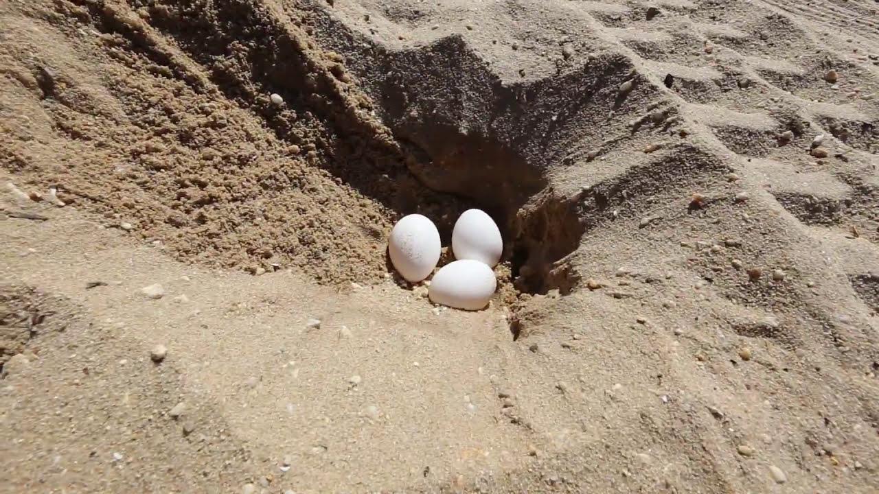 Beach Clean Up Eggs In Sand Rake Sifting