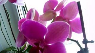 Орхидея Домашняя-Уход и Выращивание! Мой экспериментальный и успешный способ!(Способ ухода за орхидеями. Я выращиваю орхидеи, которые хотели уже выбросить в цветочном магазине. Покупаю..., 2015-02-07T11:29:57.000Z)