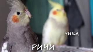 Серенады молодого самца кореллы нимфы