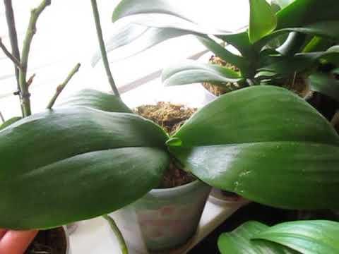 Нужно ли обрезать цветоносы у орхидей? Изменения после обрезки.