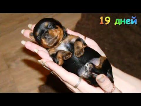Как растёт  щенок йорка  с рождения до месяца