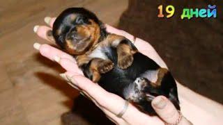Как растёт  щенок йорка  с рождения до месяца. Щенок Йоркширского терьера.