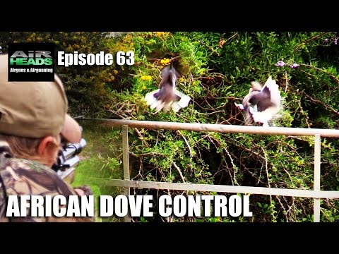 African Dove Control - AirHeads episode 63