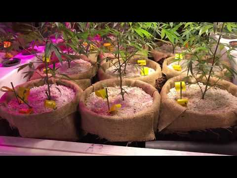 Aquaponics intro - The Cannabis Cafe