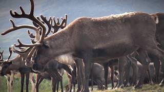 Северные олени полярного Урала \ Reindeer of the polar Urals