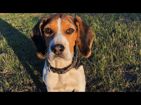 5 Amazing Facts on Beagle in Hindi | Dog Facts in Hindi |Animal Channel Hindi