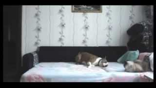 Вот как ведут себя собаки,  когда хозяев нет дома(, 2014-05-20T17:10:58.000Z)