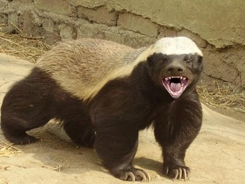 Honey Badgers: The Crazy Truth