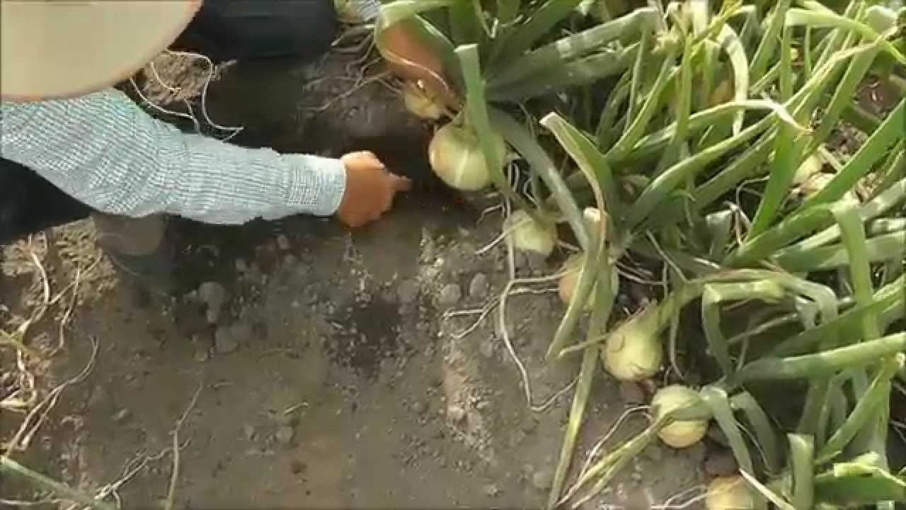 Testimonial Uso De Promesol 5x En Cultivo De Cebolla