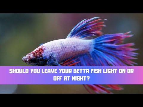 Should You Leave Your Betta Fish Light On Or Off At Night?
