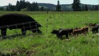 Repeat youtube video Pastured Pigs