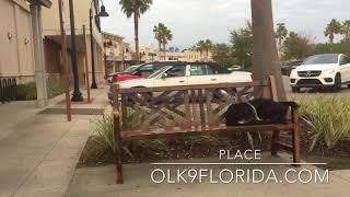 "5 m/o GSD ""Athena"" | Daytona Beach Dog Trainers | Central Florida Dog Trainers"