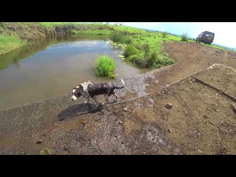 English Springer Spaniels Dogs Swimming