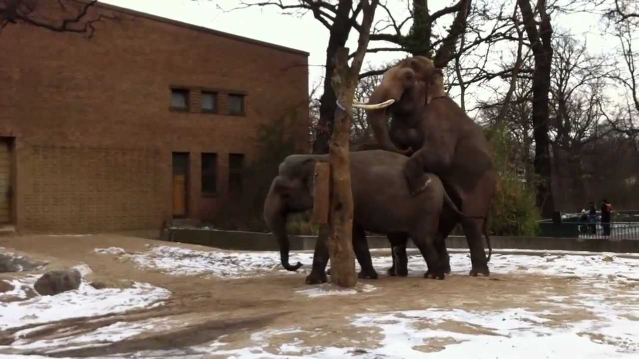 elephant mating in the berlin zoo germany winter 2013. Black Bedroom Furniture Sets. Home Design Ideas