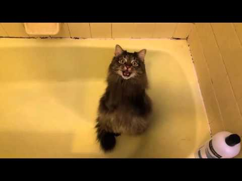 Maine Coon demands Baby Bath