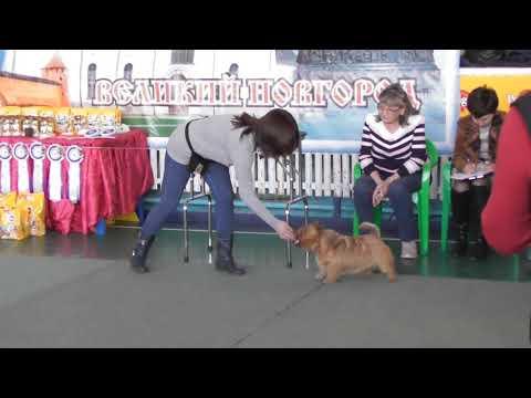 Норвич-терьер, видео с выставки собак