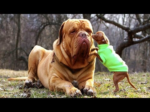Top 10 Biggest Dog Breeds In The World | Amazing Facts