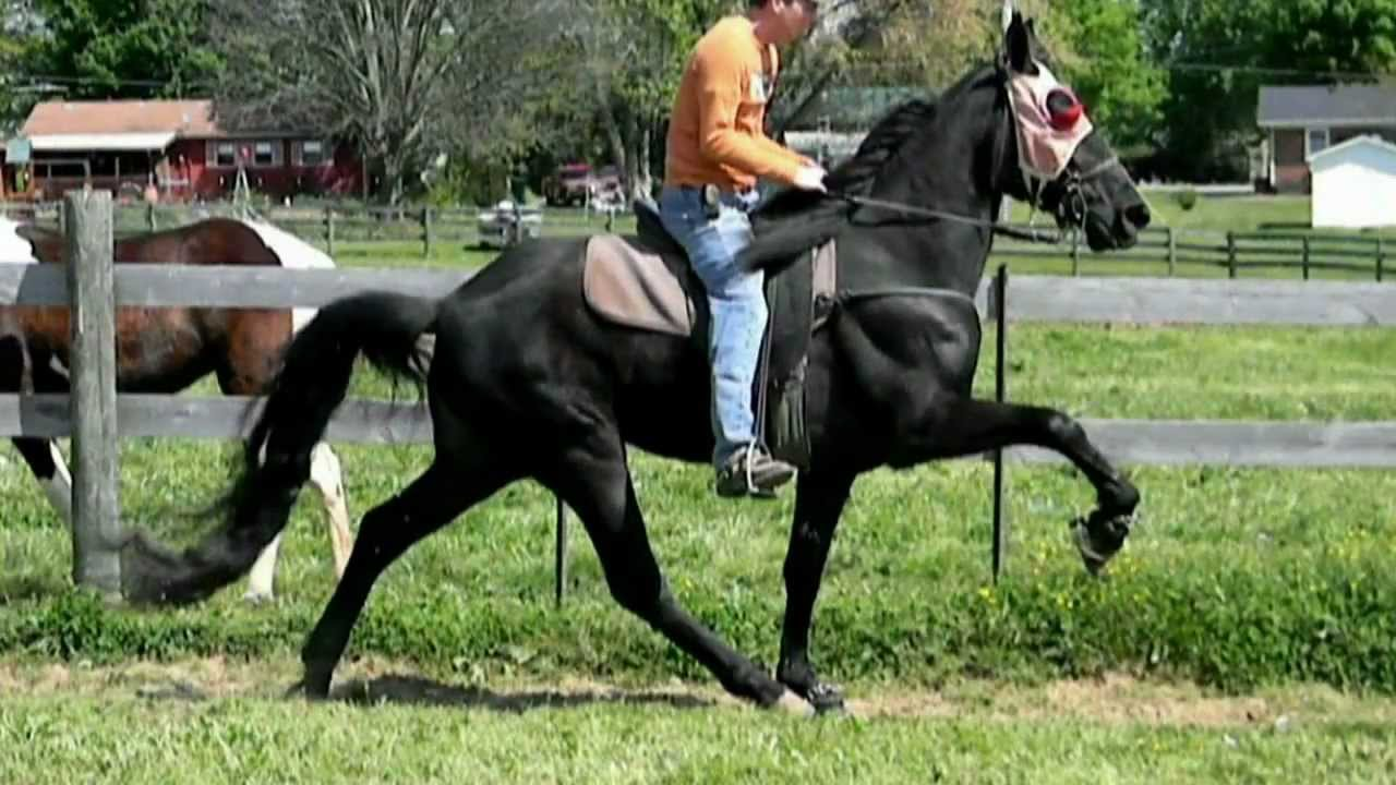 Tennessee Walking Horse For Sold