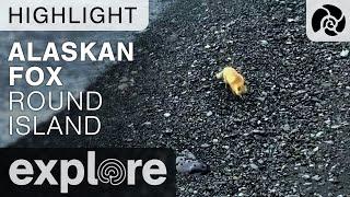 Alaskan Fox - Round Island Walrus - Live Cam Highlight thumbnail