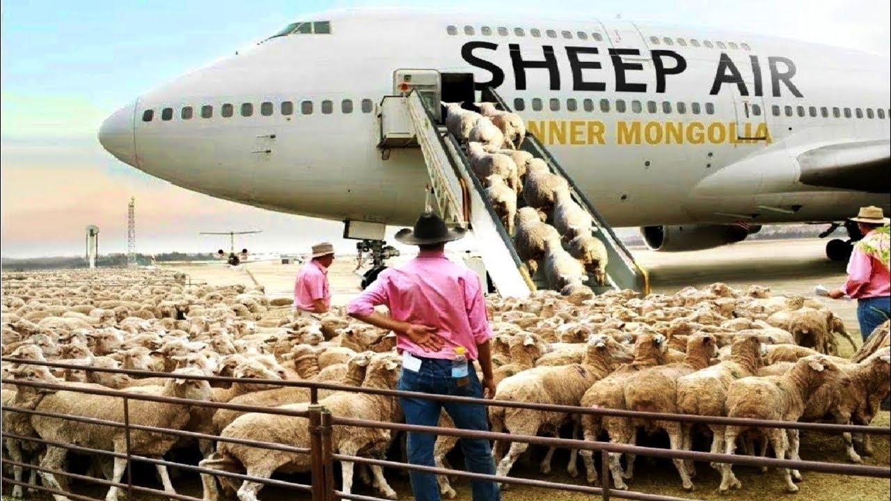 آخر ان لاکھوں بھیڑوں کو جہاز میں لے جانے کی وجہ کیا ہے