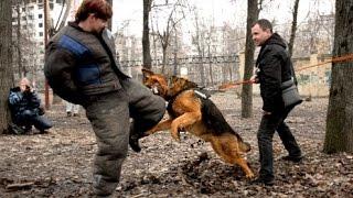 Немецкая овчарка Дикая Стая Хюнтер на защите 9 апреля Нижний Новгород