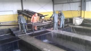 Курильские Острова - Видео №49 - забойка рыбы работа не из легких(Рыбу лупят битами по голове вот она - забойка, а вот так, хочется вам рыбки и икорки...., 2015-07-21T23:17:33.000Z)