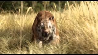Трейлер фильма: Книга джунглей